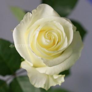 Роза Ферст Леди | First Lady Rose