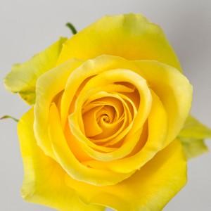 Роза Хай Экзотик | High & Exotic Rose