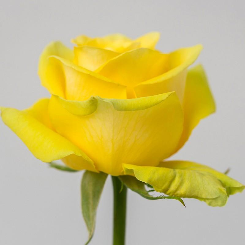 Желтые розы Хай Экзотик купить в СПб