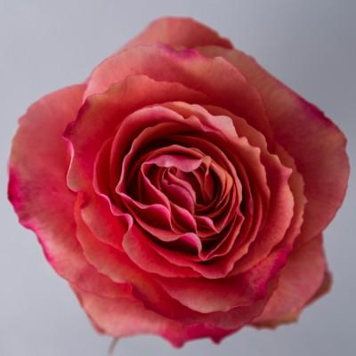 Роза Хот Карпе Дием | Hot Carpe Diem Rose