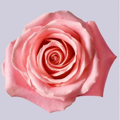 Роза Эрмоза | Hermosa Rose