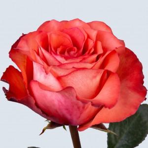Роза Игуана | Iguana Rose