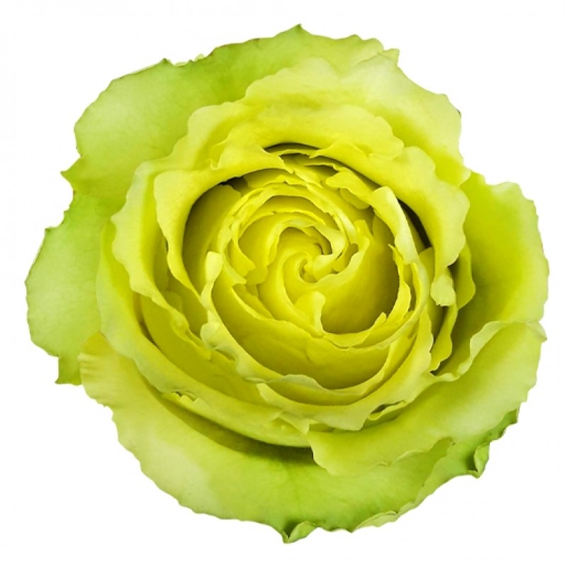 Купить зеленые розы Лимбо в СПб