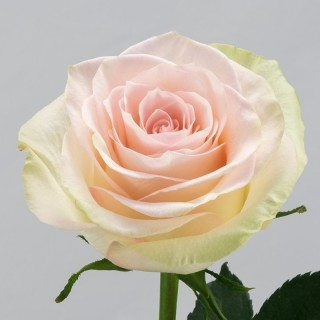 Роза Марципан | Marzipan Rose