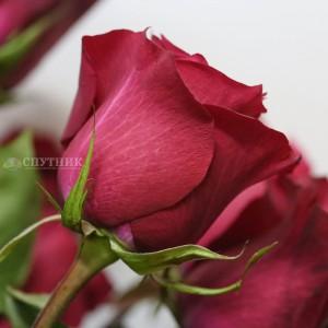 !ХИТ! Роза Мерло | Merlot Rose