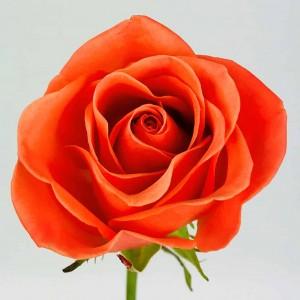 Роза Оранж Краш   Orange Crush Rose