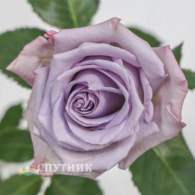 Роза Оушен Сонг | Ocean Song Rose