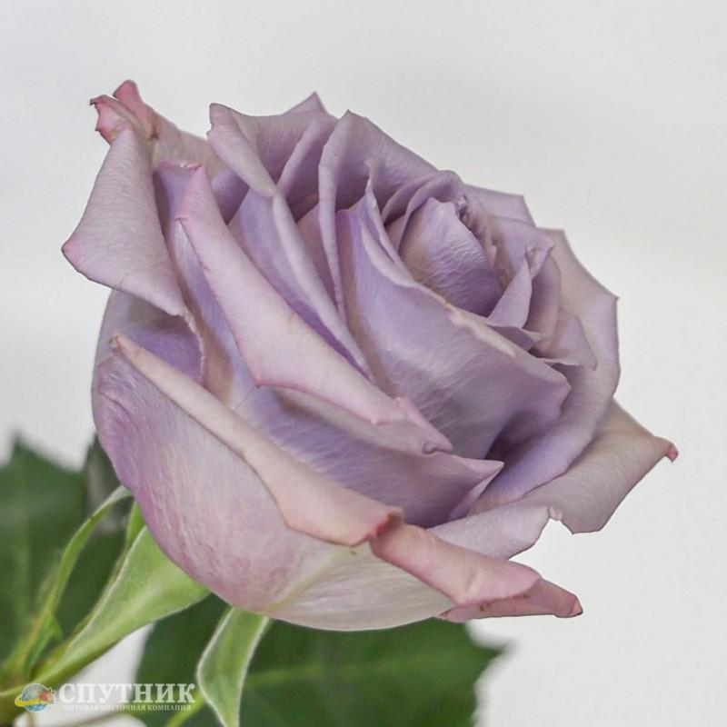 Роза Оушен Сонг в оптовой цветочной компании Спутник