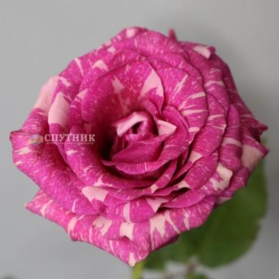 Роза Пандора | Pandora Rose