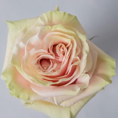 !ХИТ! Роза Пинк Мондиаль | Pink Mondial Rose