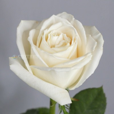 Роза Плайя Бланка | Playa Blanca Rose