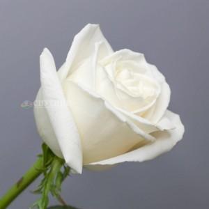 !ХИТ! Роза Плайя Бланка | Playa Blanca Rose