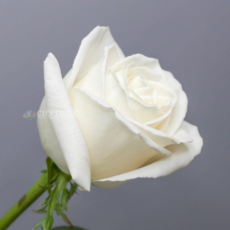 Купить белые розы Плайя Бланка в СПб