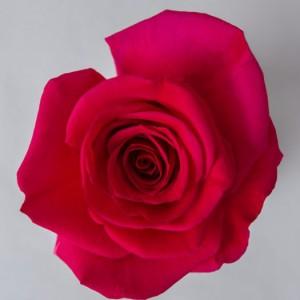 Роза Квин Берри | Queenberry Rose