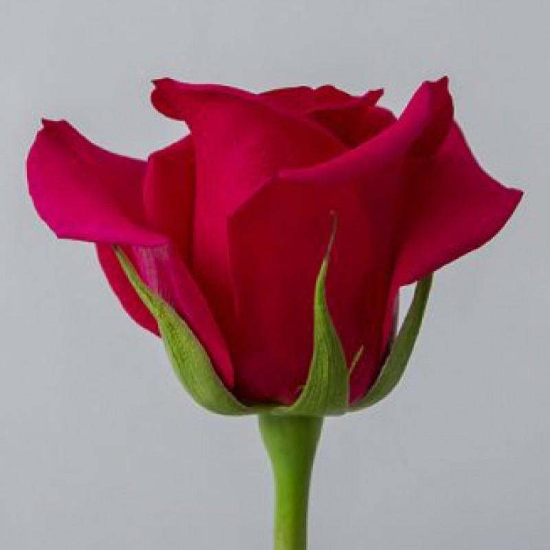 Купить розы Квин Берри в СПб