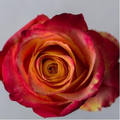 Роза Силантой | Silantoi Rose
