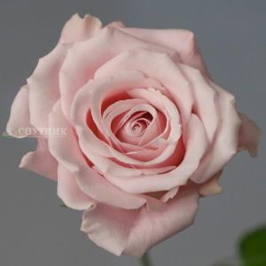 Роза Свит Эскимо | Sweet Escimo Rose