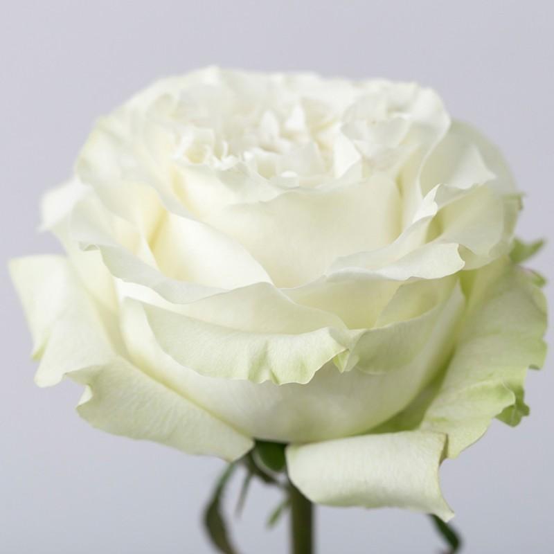 Роза Сьенте заказать