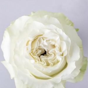Роза Сьенте | Rose Siente