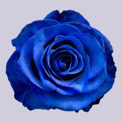 Роза Тинтед Блю | Tinted Blue Rose