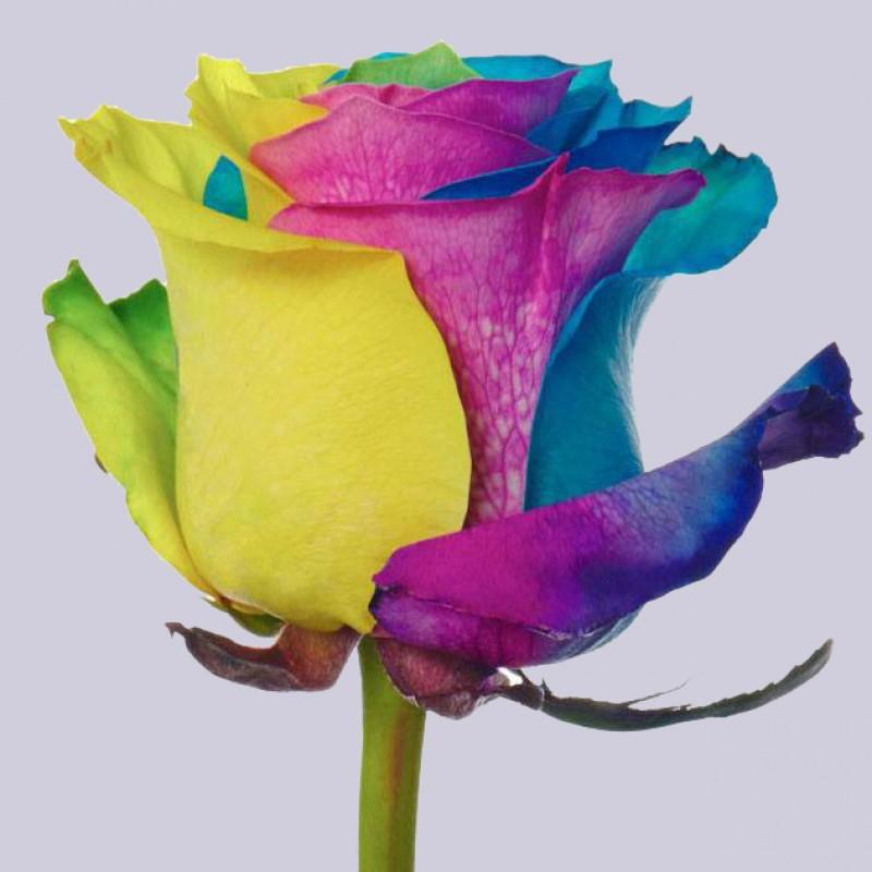 Купить радужные розы в СПб