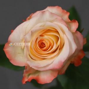 Роза Кабарет | Cabaret Rose