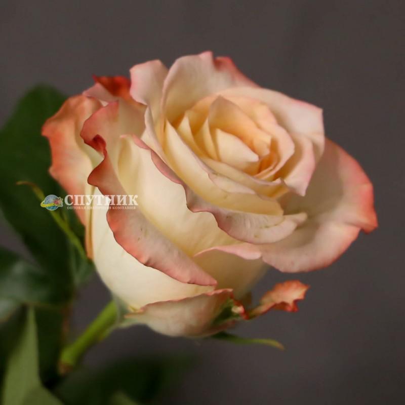 Купить розы Кабарет в СПб