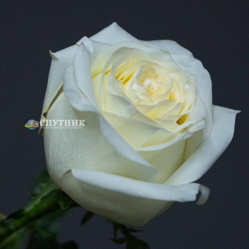Купить розы Кэндлллайт в СПб