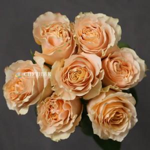 Роза Карпе Дием | Carpe Diem Rose