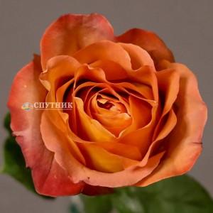 Роза Кофе Брейк | Coffee Break Rose