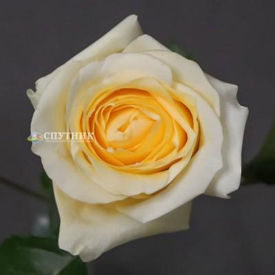 Роза Крем де ля Крем | Creme de la Creme Rose