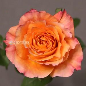 Роза Фри Спирит| Free Spirit Rose