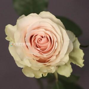 Роза Фрутетто | Frutteto Rose