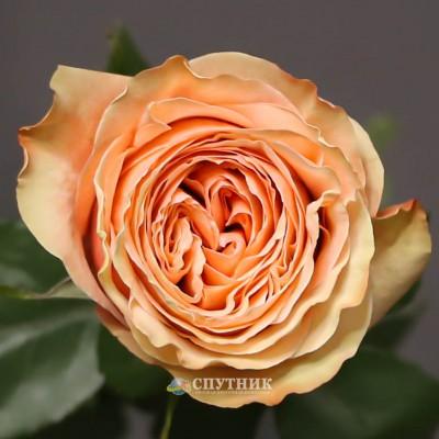 Роза Кахала | Kahala Rose