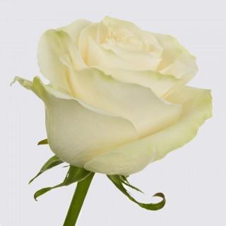 !ХИТ! Роза Мондиаль | Mondial Rose