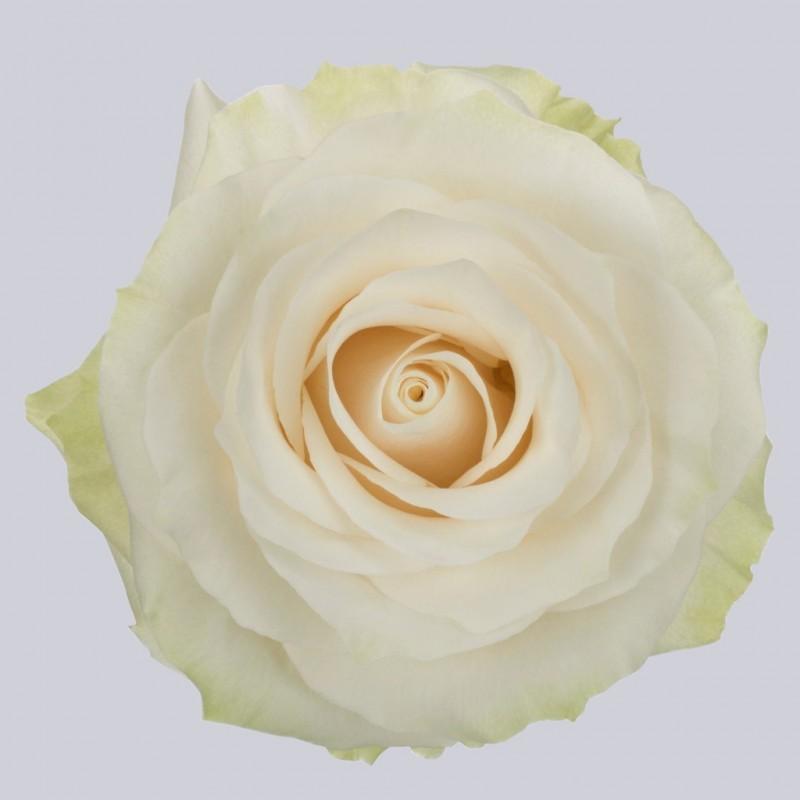 Купить белые розы Мондиаль в СПб оптом
