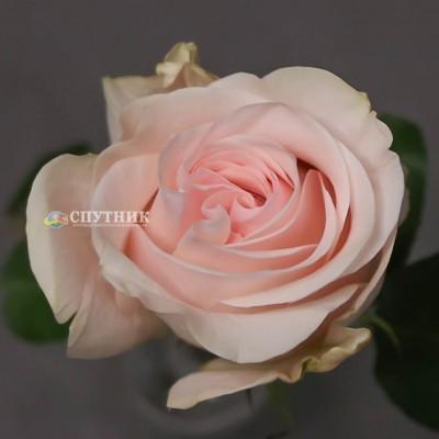 Роза Новиа | Novia Rose