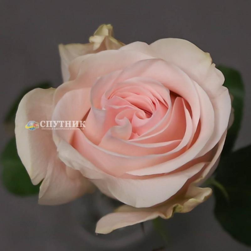 Розы новиа купить оптом