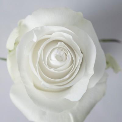 .Роза Прауд   Proud Rose