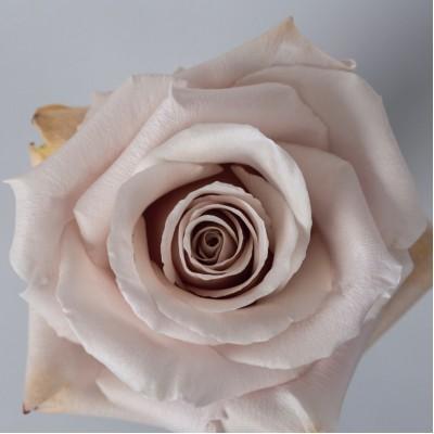 Роза Квиксенд | Quicksand Rose