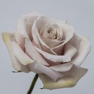 !ХИТ! Роза Квиксенд | Quicksand Rose