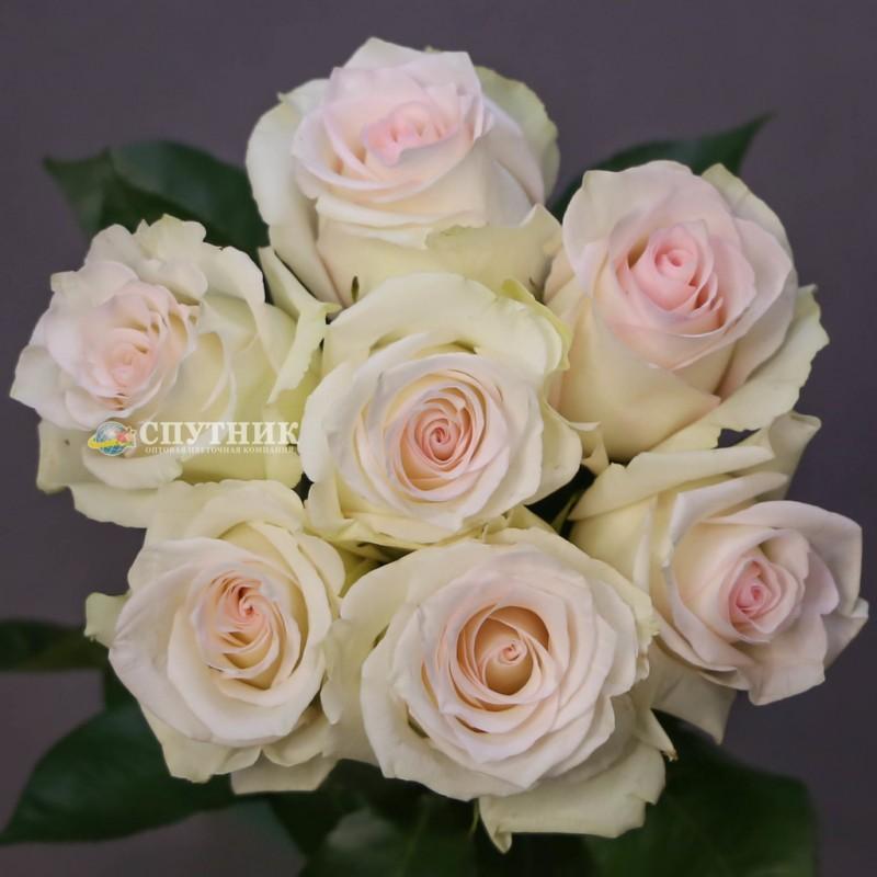 Купить розы рагацца в спб