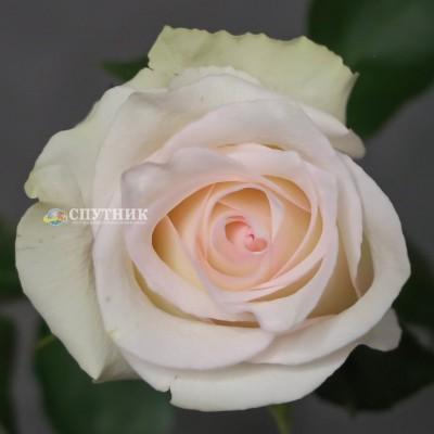 Роза Рагацца | Ragazza Rose