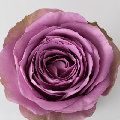 Роза Тиара | Tiara Rose