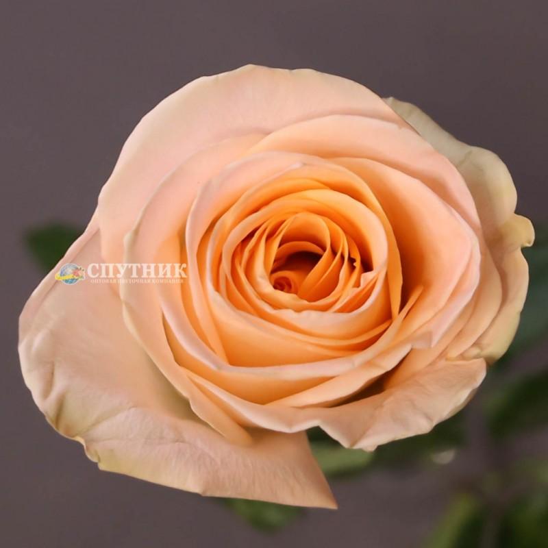 Купить розы Тиффани СПб