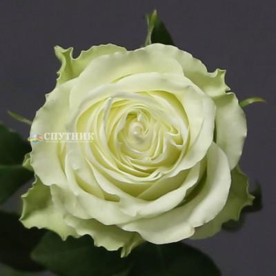 Роза Васаби |  Wasabi Rose