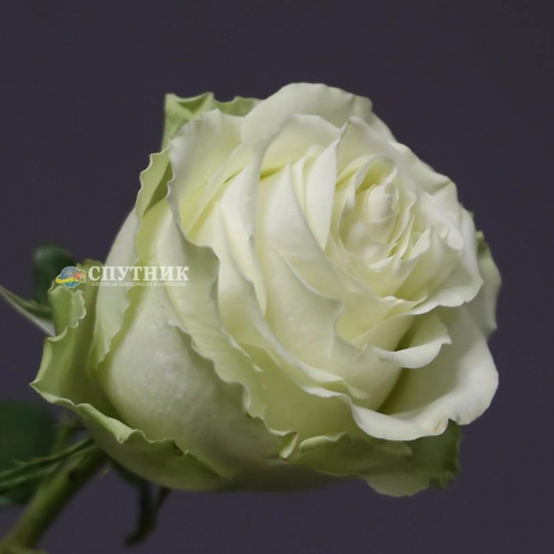 Роза васаби, купить в оптовой цветочной компании спутник