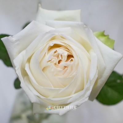 Роза Вайт ОХара | White O'Hara Rose