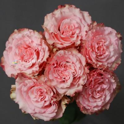 Купить розы Вайлд Эсперанса