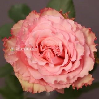 Роза Вайлд Эсперанса |  Wild Esperance Rose